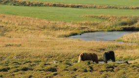 Het landschap van Ijslands weiland met twee paarden, zonnig weer, kleine vogel zit op een rood paard stock video