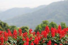 Het landschap van perspectiefdefocus van rode bloemen met groene boom en berg op achtergrond, rode bloemen, berg Royalty-vrije Stock Afbeelding