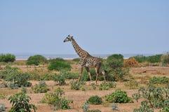 Het landschap van Savana met giraf royalty-vrije stock afbeelding