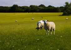 Het landschap van schapen stock afbeelding
