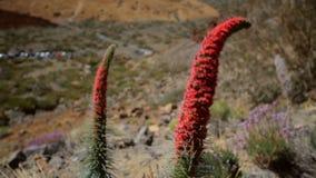 Het landschap van Tenerife met wildpretii van installatieechium stock video