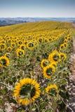 Het landschap van Toscanië met zonnebloem Stock Foto