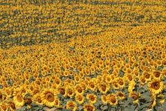 Het landschap van Toscanië met zonnebloem Stock Afbeelding