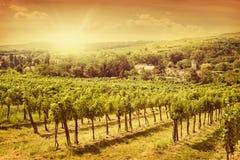 Het landschap van wijngaarden Stock Afbeelding