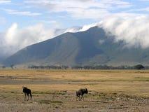 Het landschap van Wildebeast in Krater Ngorongoro Stock Afbeeldingen