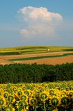 Het landschap van zonnebloemen   Stock Afbeeldingen