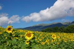 Het landschap van zonnebloemen royalty-vrije stock foto