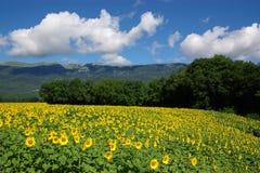 Het landschap van zonnebloemen royalty-vrije stock afbeelding
