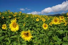 Het landschap van zonnebloemen royalty-vrije stock afbeeldingen