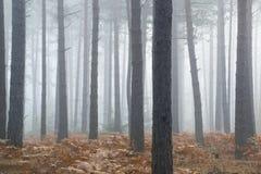 Het landschaps mistige ochtend van pijnboom bosautumn fall Stock Fotografie