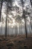 Het landschaps mistige ochtend van pijnboom bosautumn fall Stock Afbeelding
