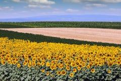 Het landschapszomer van het zonnebloemgebied Stock Fotografie