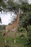 Het lange Giraf stellen voor camera Stock Foto