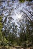 Het lange Nationale Monument van het Hout van Muir van de Bomen van de Californische sequoia Stock Fotografie