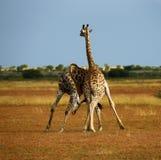 Het Langste Zoogdier van werelden; Giraf met een netvormig patroon royalty-vrije stock foto's