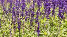 Het lavendelgebied, sluit omhoog van lavdender violette stam royalty-vrije stock foto