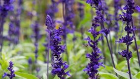 Het lavendelgebied, sluit omhoog van lavdender violette stam royalty-vrije stock afbeelding