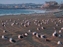 Het Leger van de zeemeeuwnatie, Redondo-Strand, Zuidelijk Californië Royalty-vrije Stock Foto