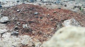 Het leger van mieren voedt de koningin stock video