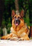 Het leggen van de hond van de Duitse herder Royalty-vrije Stock Afbeeldingen