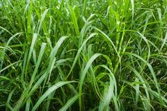 Het leggen van gras Stock Foto