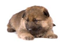 Het leggen van herdershondenpuppy stock foto's