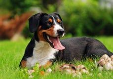 Het leggen van hond Stock Foto
