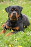 Het leggen van Rottweiler Royalty-vrije Stock Foto