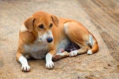 Het leggen van verdwaalde hond Stock Afbeelding
