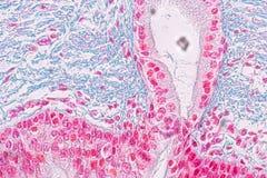 Het leren anatomie en fysiologie van zuilvormige epithellum van Pseudostratified onder microscopisch stock afbeelding
