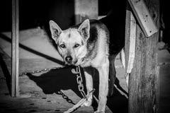 Het Letse wachthond letten op voor ongewenste mensen Royalty-vrije Stock Foto's