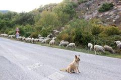 Het letten op herdershond in het zuiden van Italië stock foto