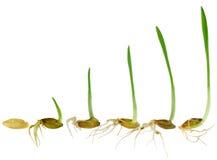 Het letten op het grassprietje groeit Royalty-vrije Stock Fotografie