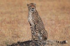 Het letten op jachtluipaard in de savanne royalty-vrije stock afbeeldingen