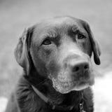 Het letten op Labrador Stock Foto