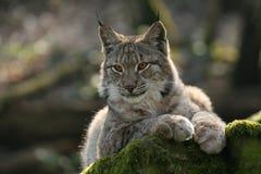 Het letten op Lynx Royalty-vrije Stock Foto's
