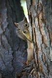 Het letten op van de eekhoorn Stock Fotografie