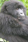 Het Letten op van de gorilla Stock Fotografie