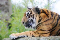 Het letten op van de tijger stock foto