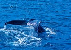 Het Letten op van de walvis in IJsland Stock Foto's