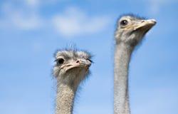 Het letten op van struisvogels Royalty-vrije Stock Afbeeldingen