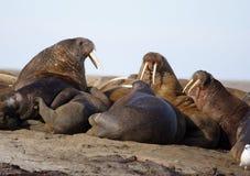 Het letten van een op Walrus haulout Stock Fotografie