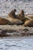 Het letten van een op Walrus haulout Stock Foto's