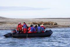Het letten van een op Walrus haulout Royalty-vrije Stock Afbeeldingen