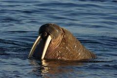 Het letten van een op Walrus haulout Stock Foto