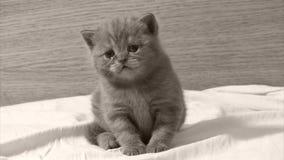 Het leuke babykatje mauwen stock video