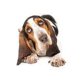 Het leuke Basset Puppy Gehoord Overhellen Stock Afbeelding