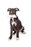 Het leuke Been van de Puppyholding in Mond Stock Foto's