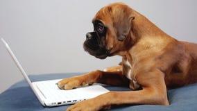 Het leuke bokser pupy werken aan laptop stock footage
