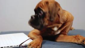 Het leuke bokser pupy werken aan laptop stock videobeelden